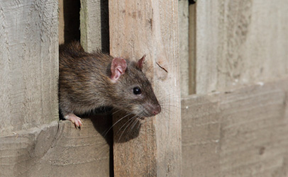 http://www.dreamstime.com/royalty-free-stock-image-common-rat-image20202806